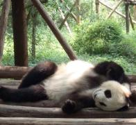 Cute and Cuddly at the Chengdu Panda Breeding Sanctuary
