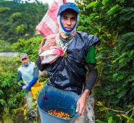 The Colombian coffee harvest