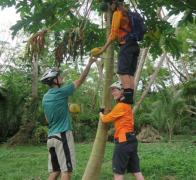 Fiji Cycle Tour. There is more that one way to pick a pawpaw