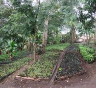 The trees that we plant in the Usambara Mountains in Tanzania are grown in the Friends of the Usambara s Nursery