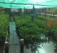 This lovely nursery contains the mangrove babies that we have been planting in the Gulf of Thailand Cambodia