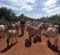 The traffic is moooooving along in rural Cambodia