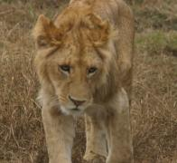 A lovely lion cub in Ngorongoro Crater