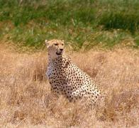 Chui the Cheetah in the Ngorongoro Crater in Tanzania