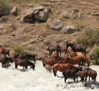 Kyrgyzstan2. Wild horses stopping for a drink