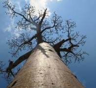Another beautiful Malagasy Baobab