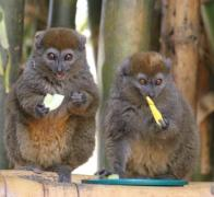 Cycle tour Madagascar and see the lemurs