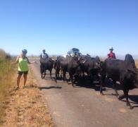 Jan rides bikes in Madagascar and pulls over to give way to passing bulls